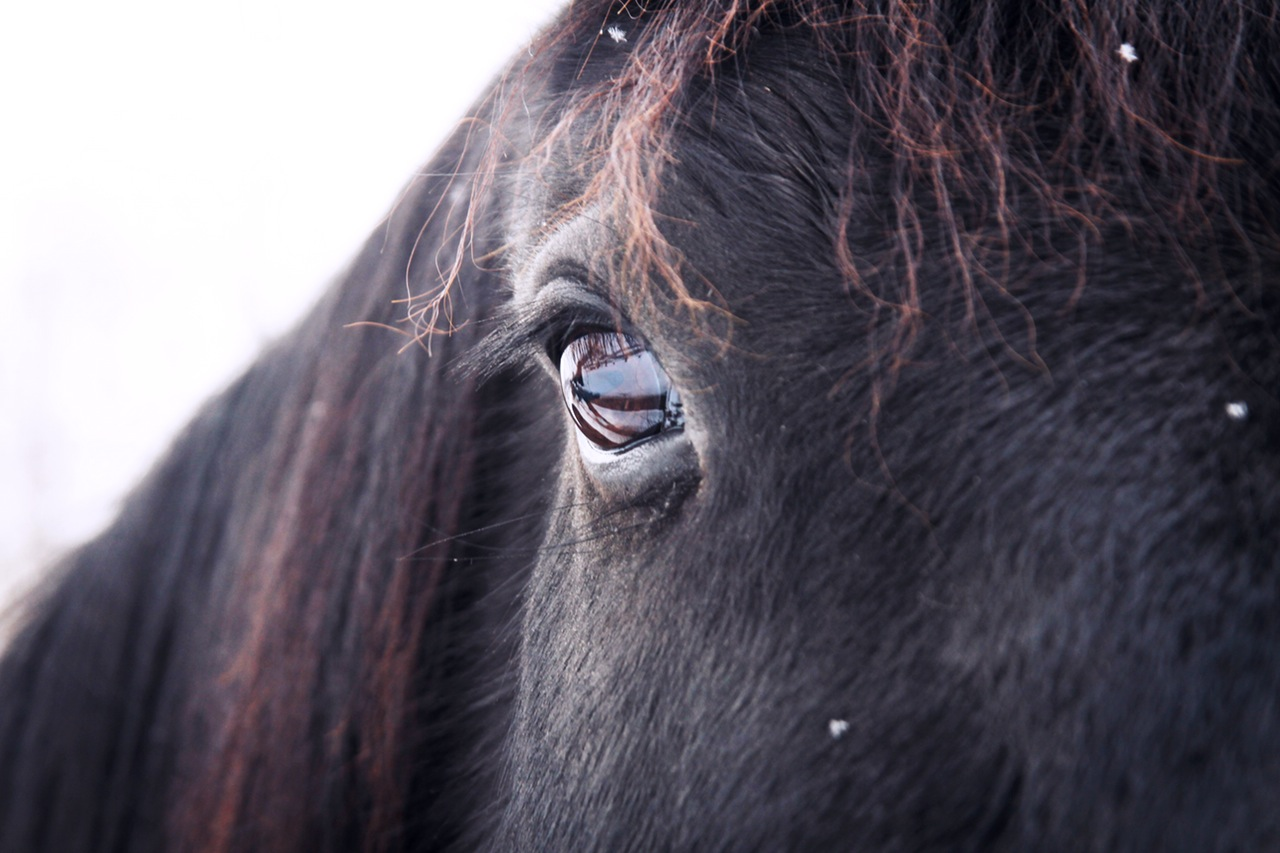 animal-eye-horse-poney